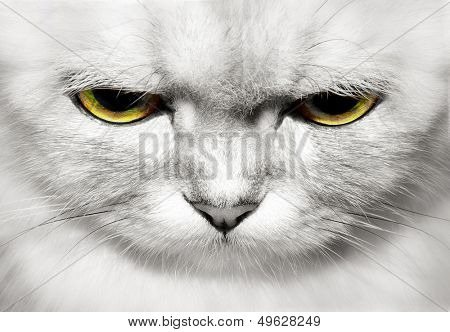 portrait of beautiful cat closeup