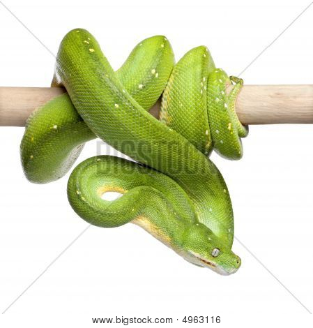 Green Tree Python Looking Down - Morelia Viridis (5 Years Old)