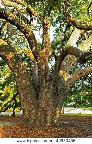Strength of the Mighty Oak