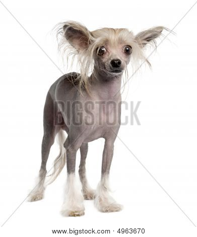 Chinese Crested Dog - Hairless