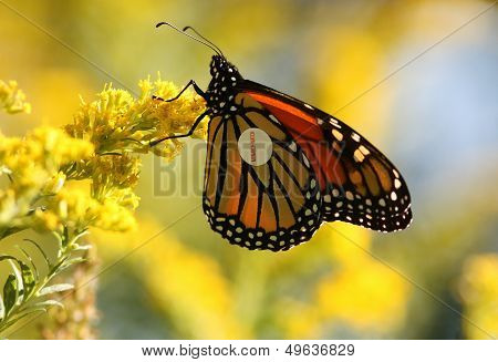Monarch butterfly with label