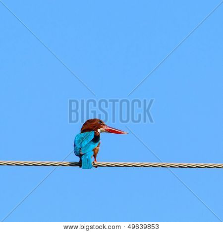 Common Kingfisher (Alcedo Atthis) on the wire