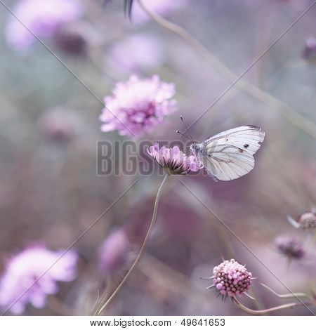 Clouded Apollo on a Scabiosa Flower