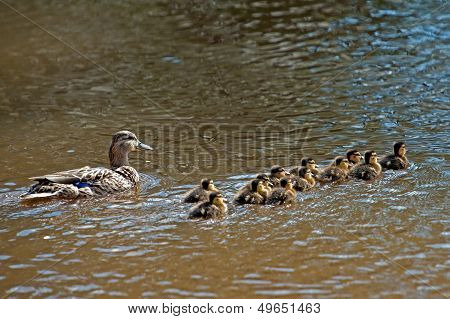 Wild Duck (Anas Platyrhynchos), Female With Her Twelve Ducklings