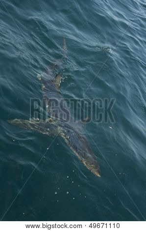 Topside shot of a Blue Shark