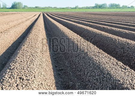 Converging Lines Of Potato Ridges Shortly After Planting