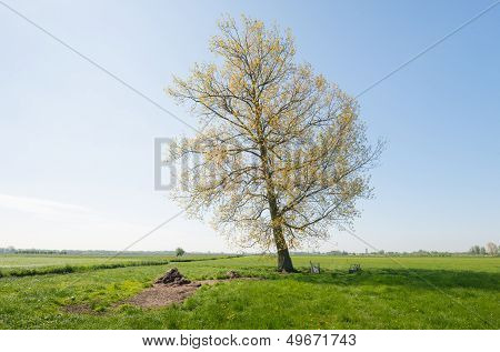 Tall Solitary Tree With Young Yellow Leaves In Sprintime