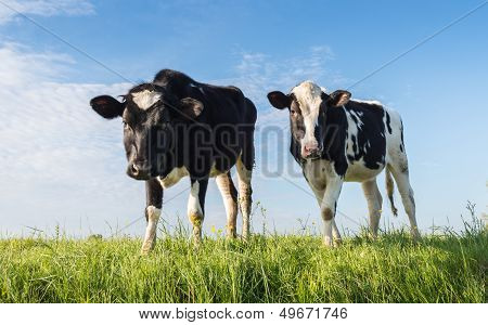 Two Young Cows Standing On A Dike