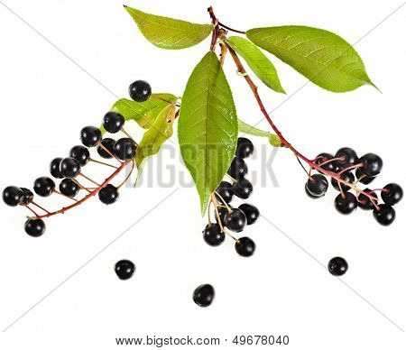 bird cherry branch with ripe berries isolated on a white background