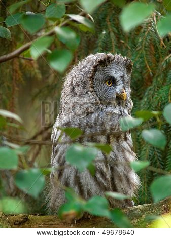 Gray Owl On Tree
