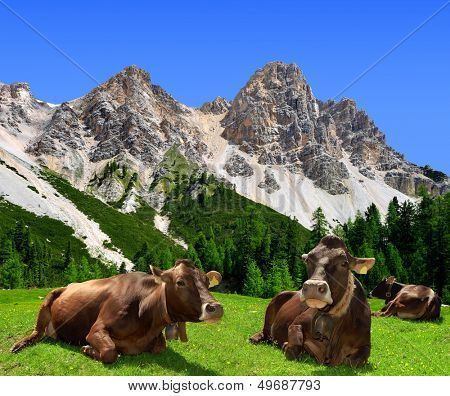Herd of Cow in Dolomite Alps,Italy