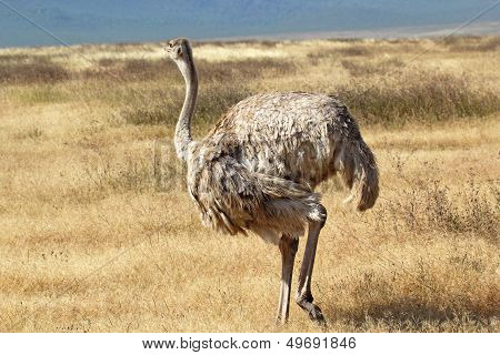 Female Ostrich Looking Around