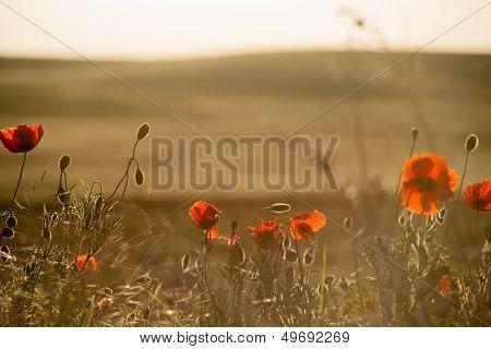 Field of Corn Poppy Flowers