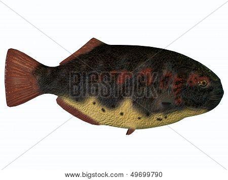 Dapedius Fish On White