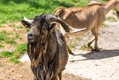 foto of eukaryote  - Goat from arabia with brown fur and long horns - JPG