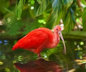 picture of scarlet ibis  - Carribean Scarlet Ibis standing in shallow pool - JPG