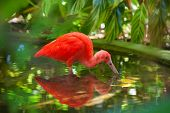 stock photo of scarlet ibis  - Hungry Carribean Scarlet Ibis searching for food in water - JPG