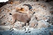 Wild ibex at Ramon crater in the Negev Desert in Israel