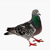 image of pigeon  - Pigeon Isolated Full Body and no shadow - JPG