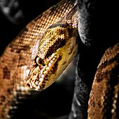 Jamaican Boa - Close-up head shot square composition