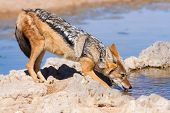 stock photo of jackal  - Black backed jackal drinking cool water in the hot kalahari - JPG