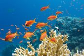 picture of aquatic animal  - Coral and fish in the Red Sea - JPG