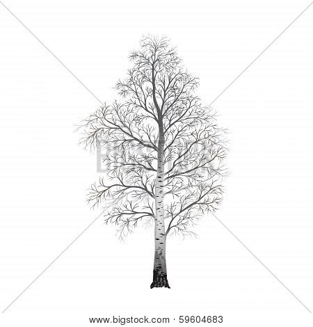 Detached Tree Birch Without Leaves, Vector Illustrations