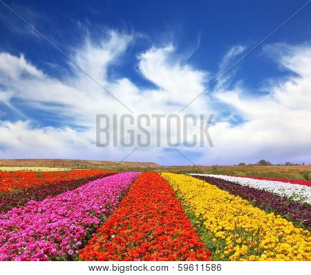 Phenomenally beautiful multi-colored flower fields. Garden buttercups /ranunculus/  bloom bright contrasting colors picturesque lanes. Strong wind drives the clouds