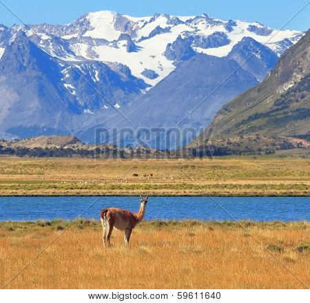Argentine Patagonia. Yellow field, blue lake and snow-capped mountains. On the banks of guanaco grazing