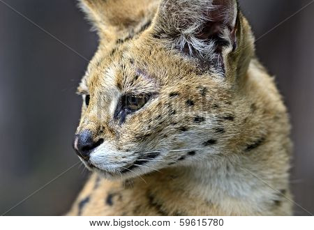 Portrait Of A Serval In Nature