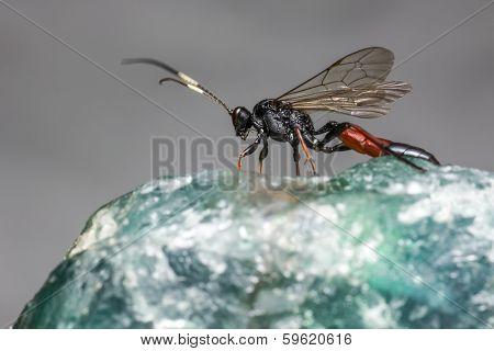 The Ichneumon Wasp (Coelichneumon viola)