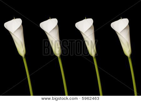 Four Beautiful Calla Lily