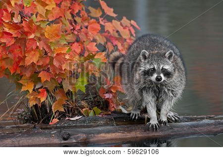 Raccoon (Procyon lotor) With Autumn Leaves
