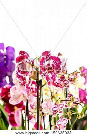 Colorful Orchidaceae on white background