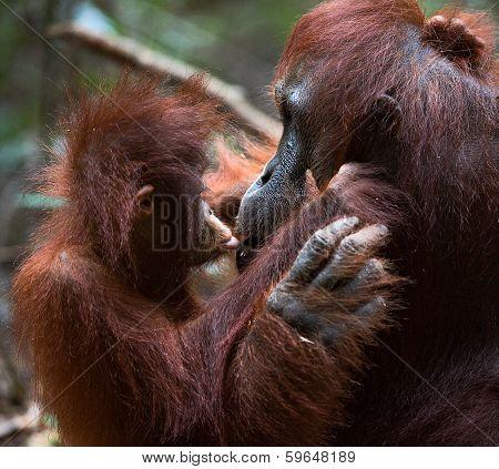 Orangutan With A Cub