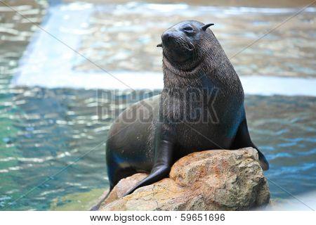 Sea lion on stone