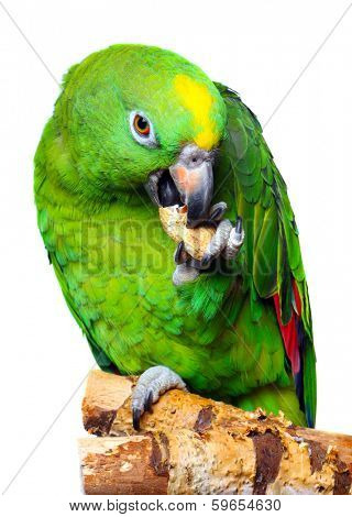 Amazon Parrot on white background