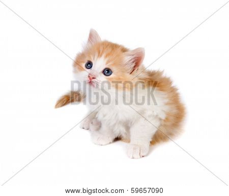 Six weeks old kitten on a white background