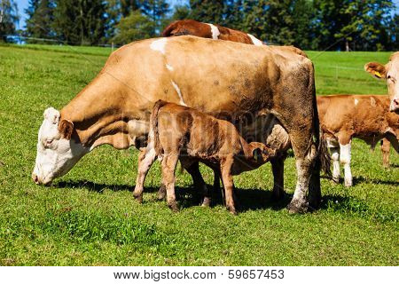 dairy cows on the summer pasture, symbol photo for milk production and organic farming
