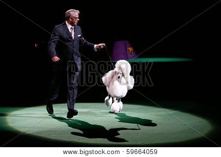 NEW YORK-FEB 11: Ally, a standard poodle, with handler Tim Brazier wins Reserved Best in Show at 138th Westminster Kennel Club Dog Show at Madison Square Garden on February 11, 2014  in New York City.