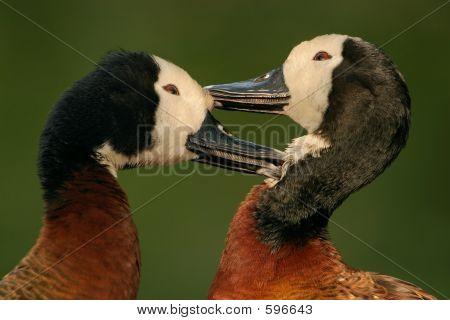Whitefaced Ducks