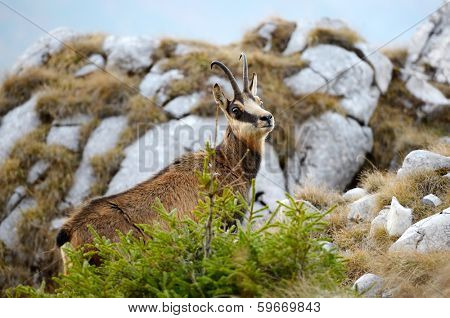 chamois (rupicapra rupicapra) in natural habitat