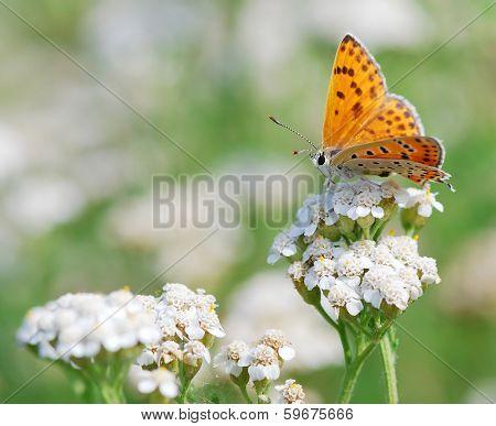 Butterfly Scarce Copper
