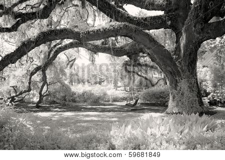 infrared photo of live oak with tree swing