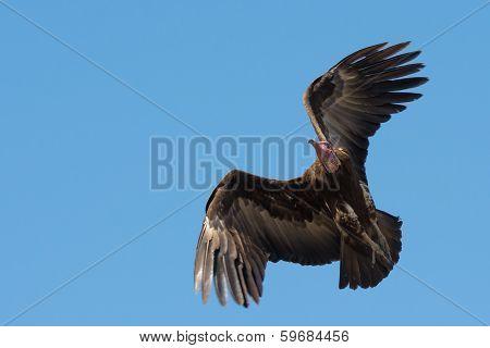 Hooded Vulture (necrosyrtes Manachus)  In Flight