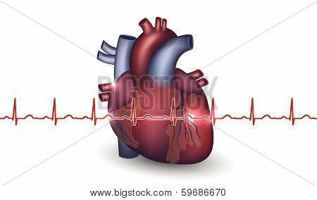 Heart Anatomy And Cardiogram On A White Background