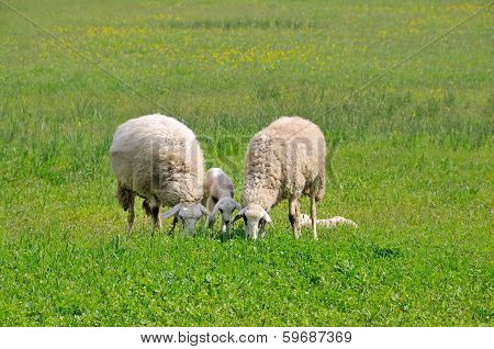 Sheep and lambs grazing on meadow