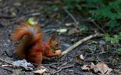 Red Squirrel Eat Walnut In Autumn Forest