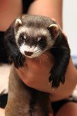 stock photo of ferrets  - small ferret in the human hands  - JPG
