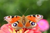 stock photo of emperor  - emperor butterfly on the flower in the garden
